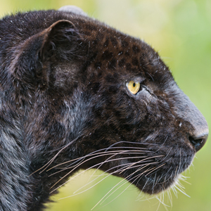 blackleopard2