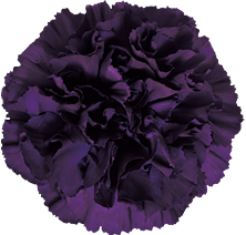 A purple carnation.